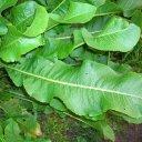 Хрен листовой